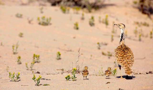Bustard and chicks